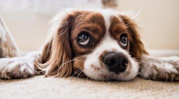 dog seperation anxiety